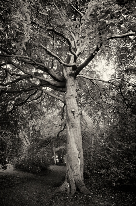 Another Tree. Photo by and copyright of Paul Henni.